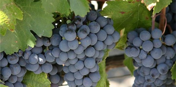 The Mataró grape